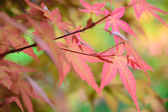 Red maple leaves background Royalty Free Stock Photography