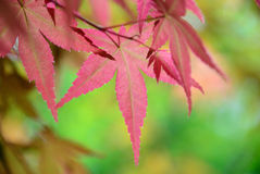 Red maple leaves background Royalty Free Stock Image