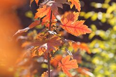 Red maple leaves in autumn. Red maple leaves of backlight in autumn in morning sunlight royalty free stock photos