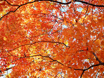 Red maple leaves backlit Royalty Free Stock Images