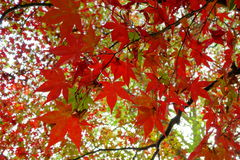 Red Maple Leaves Royalty Free Stock Photo