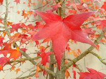 The Red maple leaves. The beautiful red maple leaves royalty free stock images