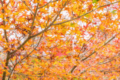 Red maple leaves blooming at Arashiyama Stock Photography
