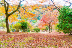 Red maple leaves blooming at Arashiyama Royalty Free Stock Photos