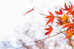 Red maple leaves blooming at Arashiyama Stock Images