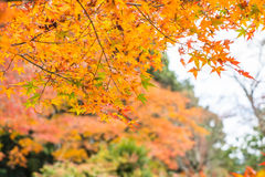 Red maple leaves blooming at Arashiyama Stock Photos