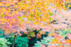 Red maple leaves blooming at Arashiyama Stock Photo