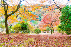 Red maple leaves blooming at Arashiyama Stock Image