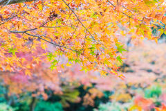 Red maple leaves blooming at Arashiyama Royalty Free Stock Photography
