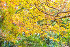 Red maple leaves blooming at Arashiyama. Kyoto, Japan Royalty Free Stock Photography