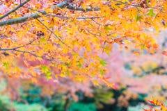 Red maple leaves blooming at Arashiyama. Kyoto, Japan Stock Image