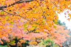 Red maple leaves blooming at Arashiyama. Kyoto, Japan Stock Photos
