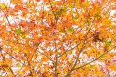 Red maple leaves blooming at Arashiyama. Kyoto, Japan Stock Photo