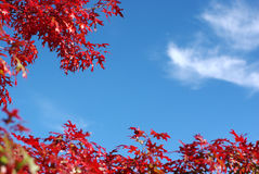 Red maple leaves and blue sky Stock Photos
