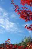 Red maple leaves and blue sky Stock Image