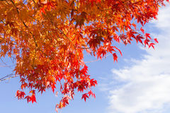 Red maple leaves with blue sky background. Autumn in Japan Royalty Free Stock Photos