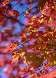 Red maple leaves with blue sky background. Red maple leaves with blue sky and soft focus red leaves  background Stock Photo