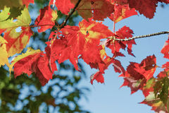 Red maple leaves on blue sky background. Symbol of autumn stock image