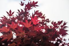 Red maple leaves with blue sky blurred background, royalty free stock photo