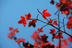 Red maple leaves. With blurred leaves as background under blue sky royalty free stock photos