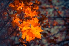 Red maple leaves on blurred background. Autumn background. Soft focus, defocused royalty free stock images