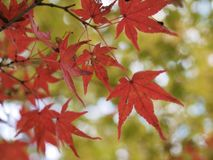 Red maple leaves with blurry background royalty free stock images