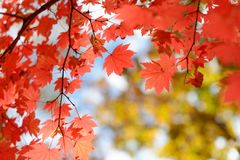 Free Red Maple Leaves Border At Autumn Forest, Blurred Background. Season Changing. A Tree Branch Of Maple, Fall. Royalty Free Stock Photo - 124019645