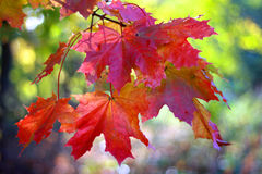 Red maple leaves on branch. A sunny day Royalty Free Stock Image