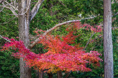Red maple leaves and branch in fall Stock Image