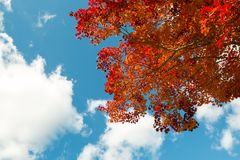 Red maple leaves in branch of trees during Autumn season stock images