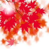 Red maple leaves on the branches. Japanese red maple. Against the background of autumn leaves. illustration Royalty Free Stock Image