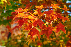 The red maple leaves close-up Royalty Free Stock Photography