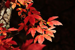 Red maple leaves close-up Royalty Free Stock Images