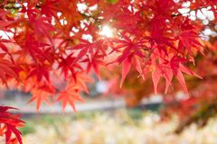 Red Maple leaves in corridor garden with sunlight background. Red Maple leaves in corridor garden with blurred sunlight background Royalty Free Stock Image