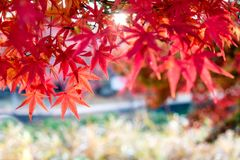 Red Maple leaves in corridor garden with sunlight background. Red Maple leaves in corridor garden with blurred sunlight background Stock Photos