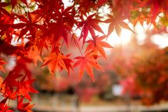 Red Maple leaves in corridor garden with blurred sunlight. Background Stock Images