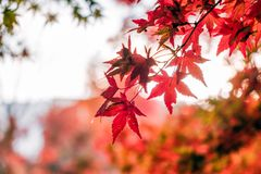 Red Maple leaves in corridor garden with blurred sunlight. Background Royalty Free Stock Image