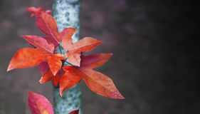 Red Maple leaves on dark blur background. Red Maple leaves on dark blur background with copy space Stock Photos