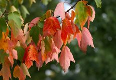 Red maple leaves in day light Royalty Free Stock Photos