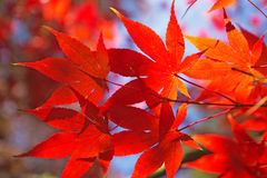 Red maple leaves. Royalty Free Stock Image