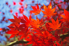 Red maple leaves. Stock Photography