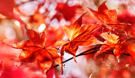 Red maple leaves in fall Royalty Free Stock Image
