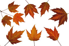 Red Maple Leaves in Fall Stock Image