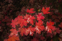 Red maple leaves in the fall Royalty Free Stock Image