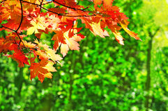 Red maple leaves on the fall forest background Royalty Free Stock Images