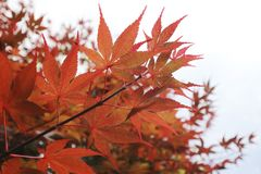 Red maple leaves in fall of Japan. Nature photo shoot royalty free stock images