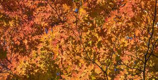 Red Maple Leaves in the Fall. Looking up to a canopy of red maple leaves stock image