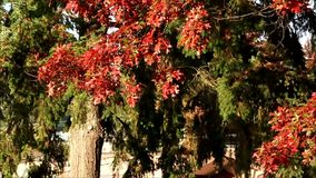 Red maple leaves falling off tree. Red maple leaves falling off of fall colored trees stock video