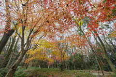 Red maple leaves in the famous Shimogamo Jinja Royalty Free Stock Photography