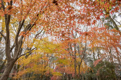 Red maple leaves in the famous Shimogamo Jinja Stock Photo